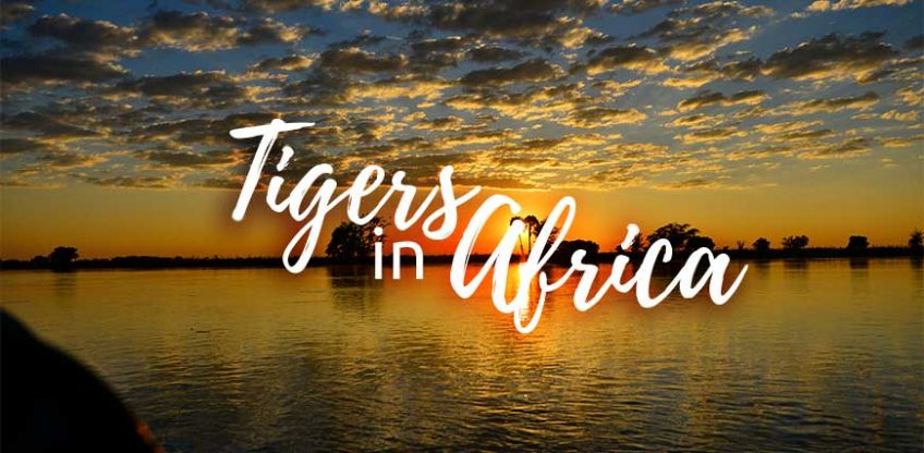 Tigers in Africa